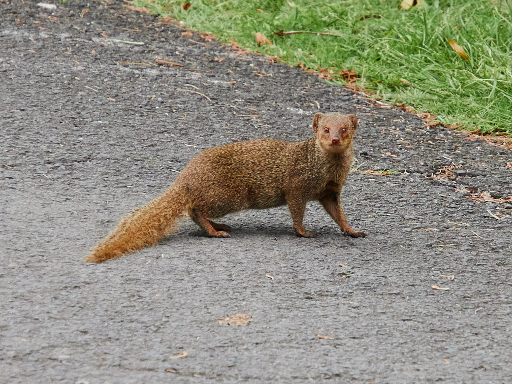 The Mongoose, an invasive species in Maui, is most frequently seen darting in front of cars.