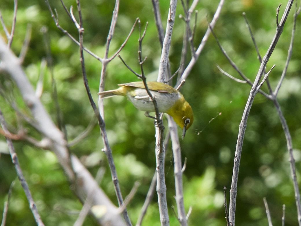 The Japanese White-Eye, an invasive bird species in Hana.